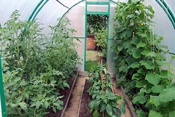 Что можно посадить в теплице вместе с огурцами?
