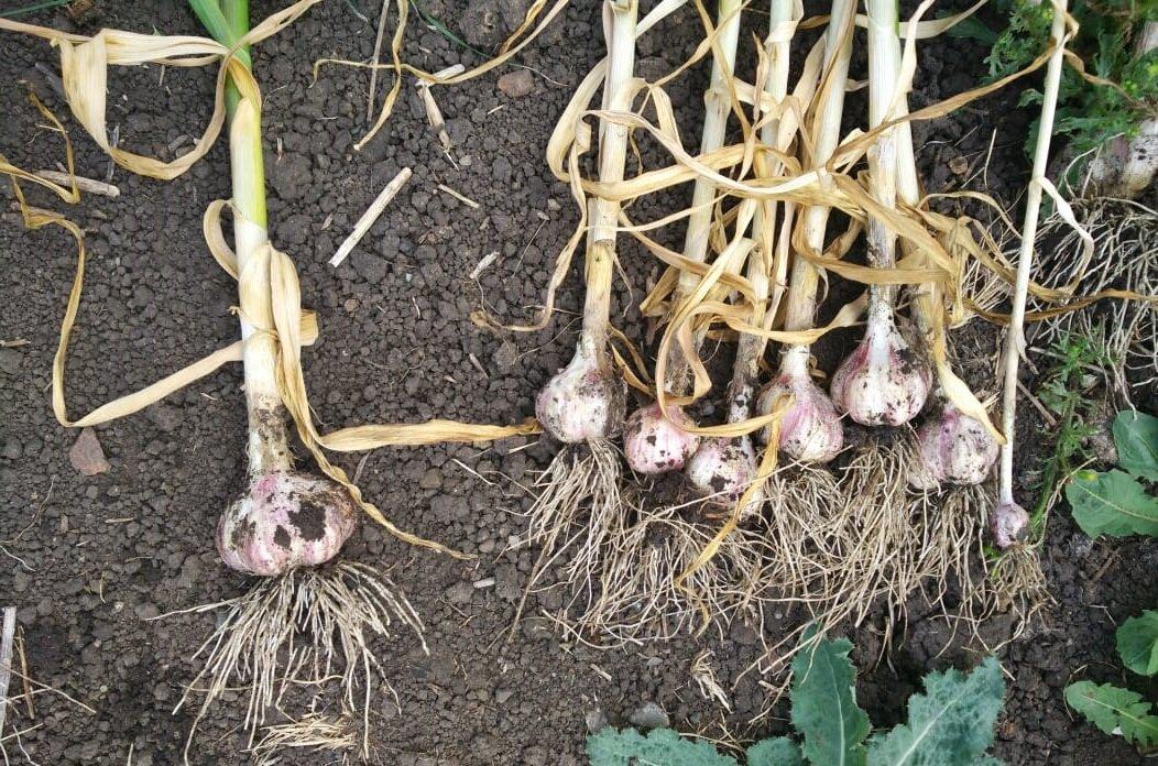 Описание сортов чеснока, который сажают целыми головками, выращивание и уход