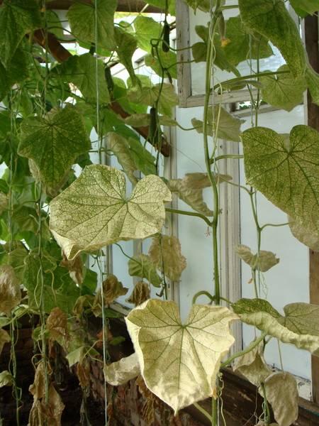 Почему желтеют листья у огурцов на подоконнике что делать фото виде