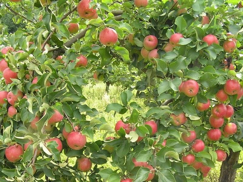 Лучшие сорта яблонь для подмосковья: описание с фото, выращивание и уход, отзывы