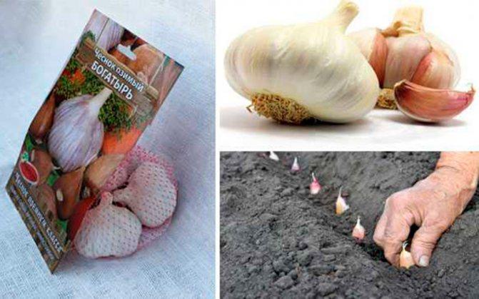 Технология выращивания чеснока в открытом грунте