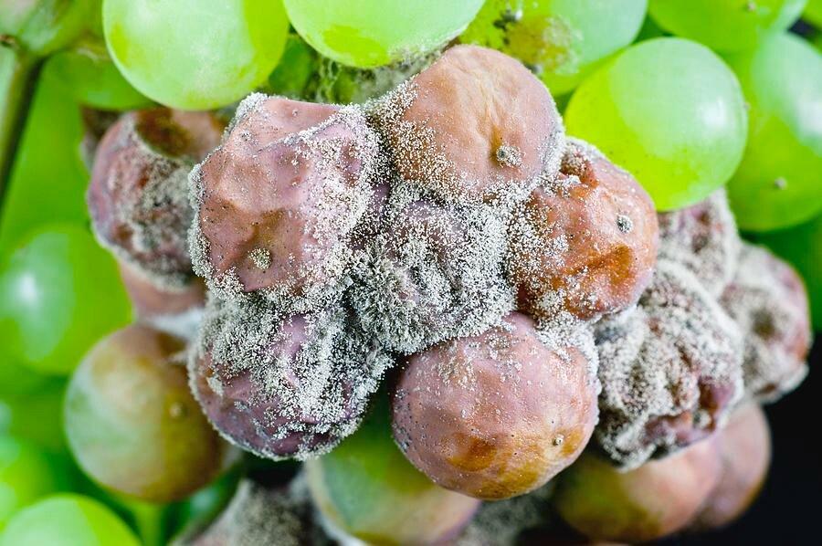 Болезни и вредители винограда: как распознать, вылечить, предотвратить