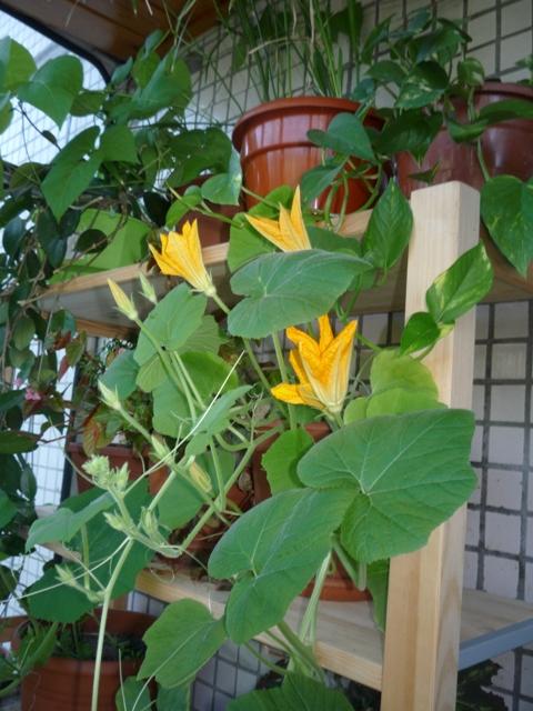 Что можно вырастить в домашних условиях из продуктов питания? предлагаем вашему вниманию список овощей и штраф, которые можно вырастить на балконе