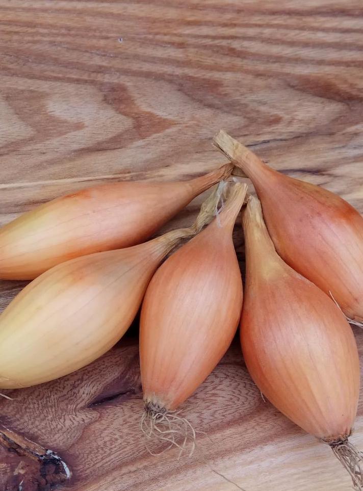 Описание и характеристики сорта лука Бамбергер, выращивание и уход