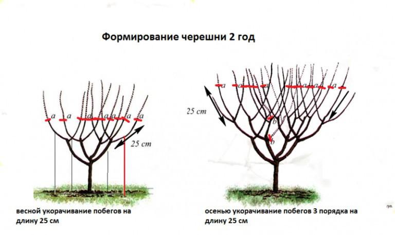 Черешня на урале: выращивание, посадка и уход