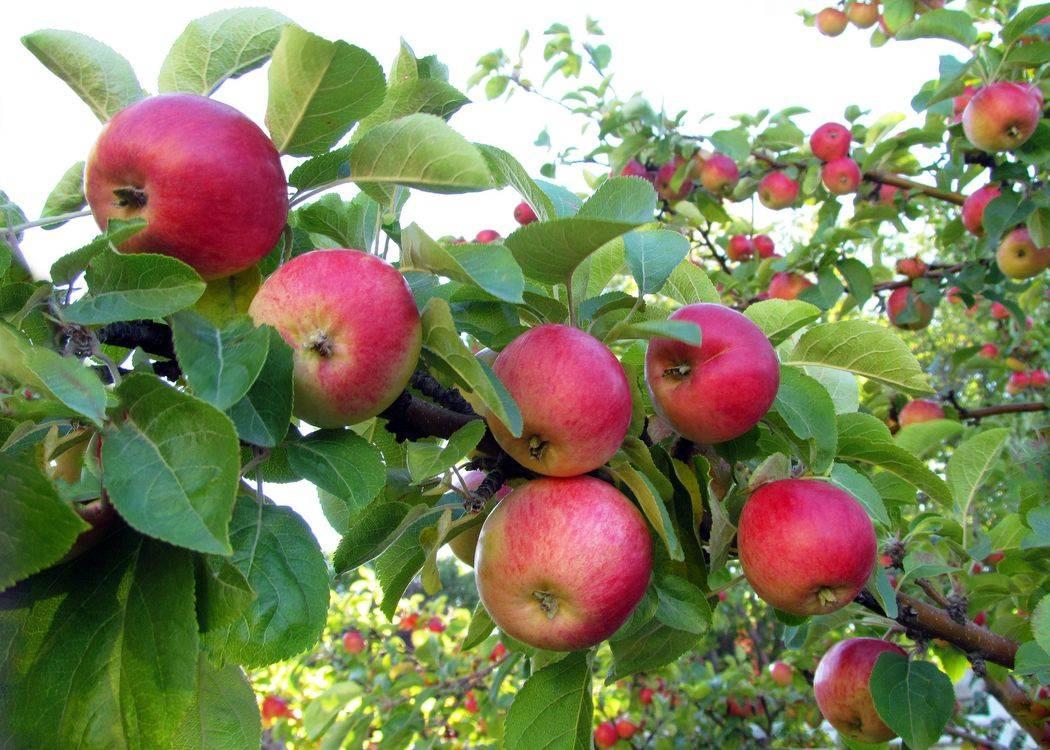 Почему не плодоносит яблоня и что делать?