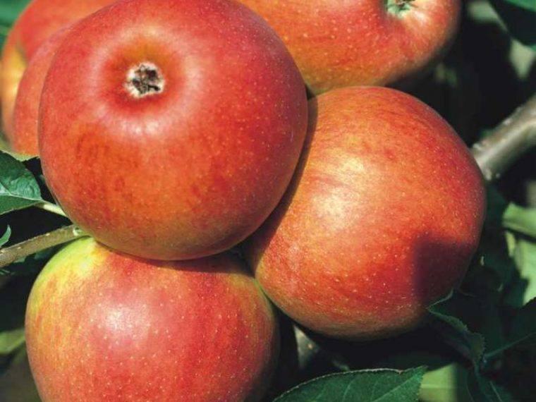 Яблоня джонатан: описание, фото, отзывы