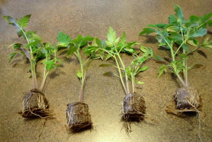 Как пользоваться торфяными таблетками для рассады при выращивании семян