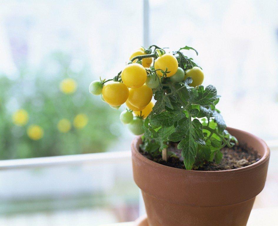 Огород на подоконнике - выращиваем томаты на подоконнике, сорта, уход