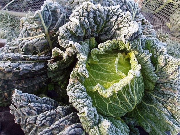 Посадка савойской капусты на рассаду и в открытый грунт: сроки посева