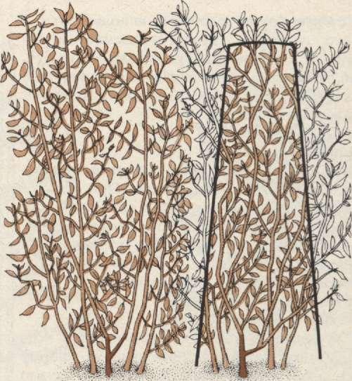 Живая изгородь из боярышника: сорта, как сажать, как быстро растет