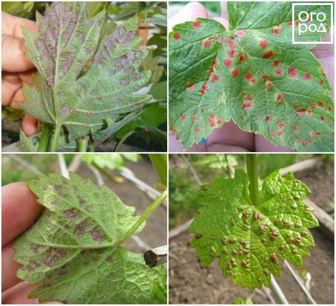 Оидиум: борьба и профилактика на винограде, фото и средства