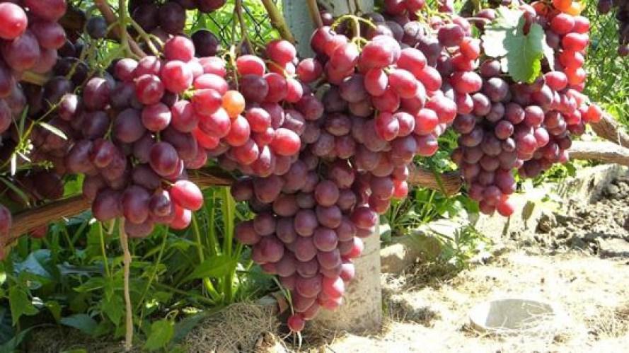 Виноград памяти учителя — описание, фото, отзывы, видео.
