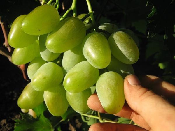 Виноград монарх: характеристика и описание сорта, выращивание, уход и отзывы