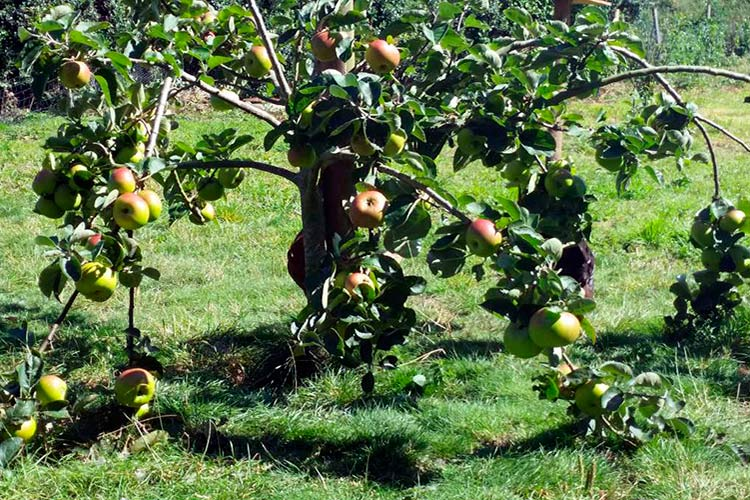 Карликовые плодовые деревья: виды, сорта, фото, особенности ухода за низкорослым садом