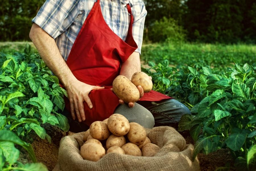 Посадка картофеля в открытый грунт любительское руководство