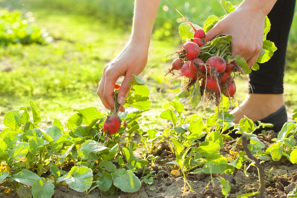Особенности агротехники. все об уходе и выращивании шпината в открытом грунте и теплице