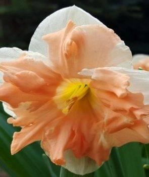 Нарцисс эприкот вирл