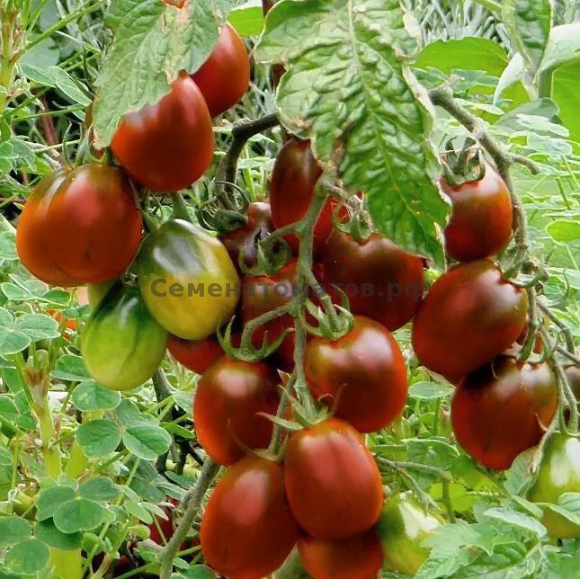 Сорта томатов, самые популярные