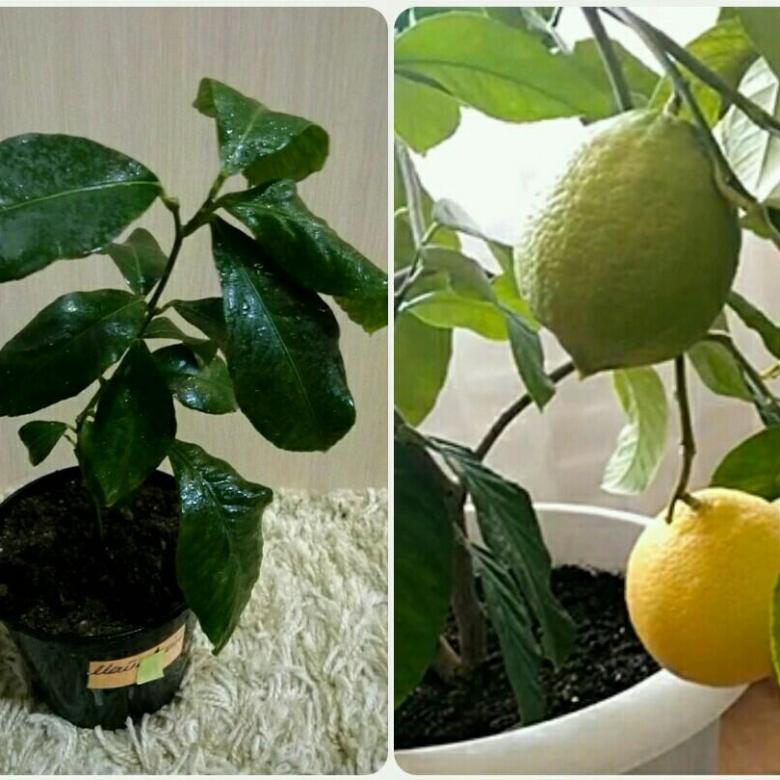 Павловский лимон: описание сорта, посадка и уход в домашних условиях с фото