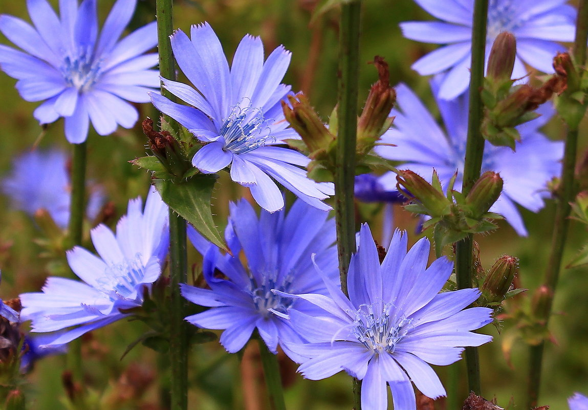 Цикорий — полезные свойства, виды и использование растения