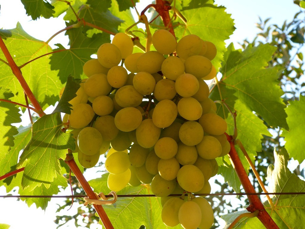 Ранние сорта винограда, в том числе самые урожайные с описанием характеристикой и отзывами, какие лучше выбрать на украине, в беларуси