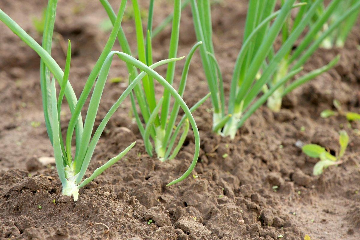 Лук-батун апрельский: выращивание из семян на подоконнике и в теплице, а также когда сажать, и как заставить быстро вырасти?