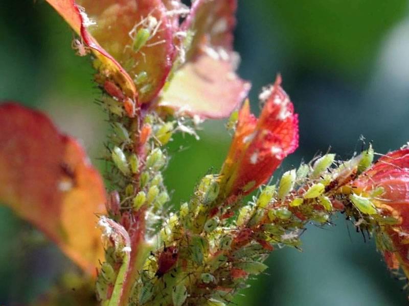 Методы борьбы с серой гнилью. как выглядит болезнь на растениях.