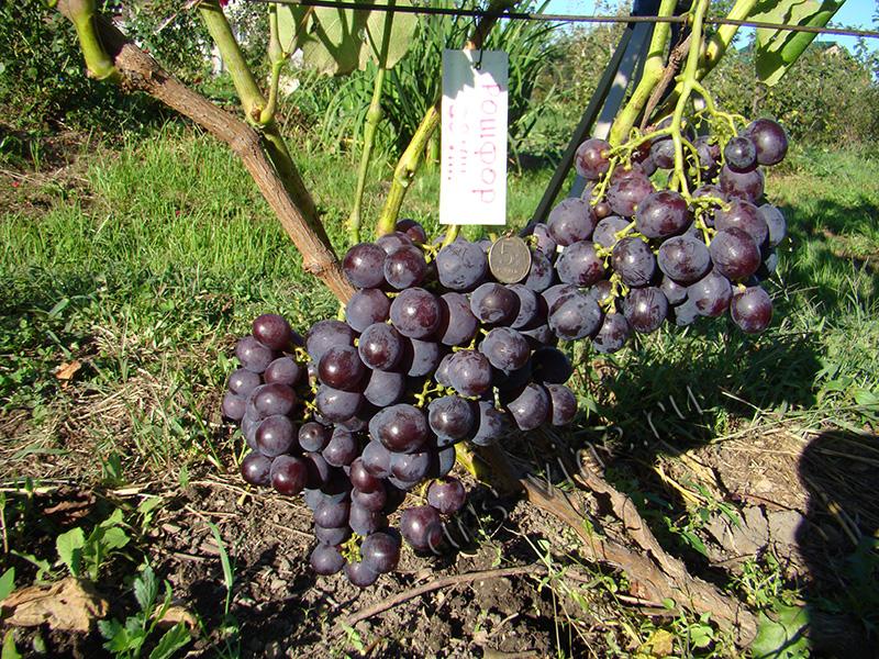 Русский ранний — неприхотливый сладкий столовый сорт винограда