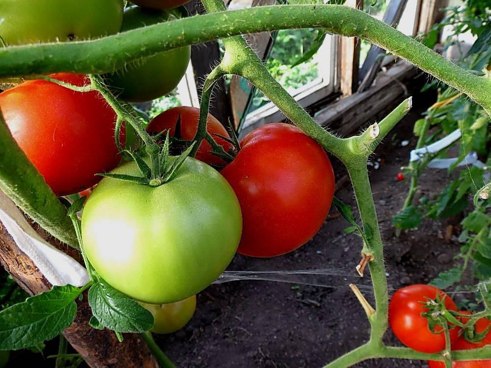 Томат ажур - характеристика и описание сорта, фото, урожайность, достоинства и недостатки, отзывы