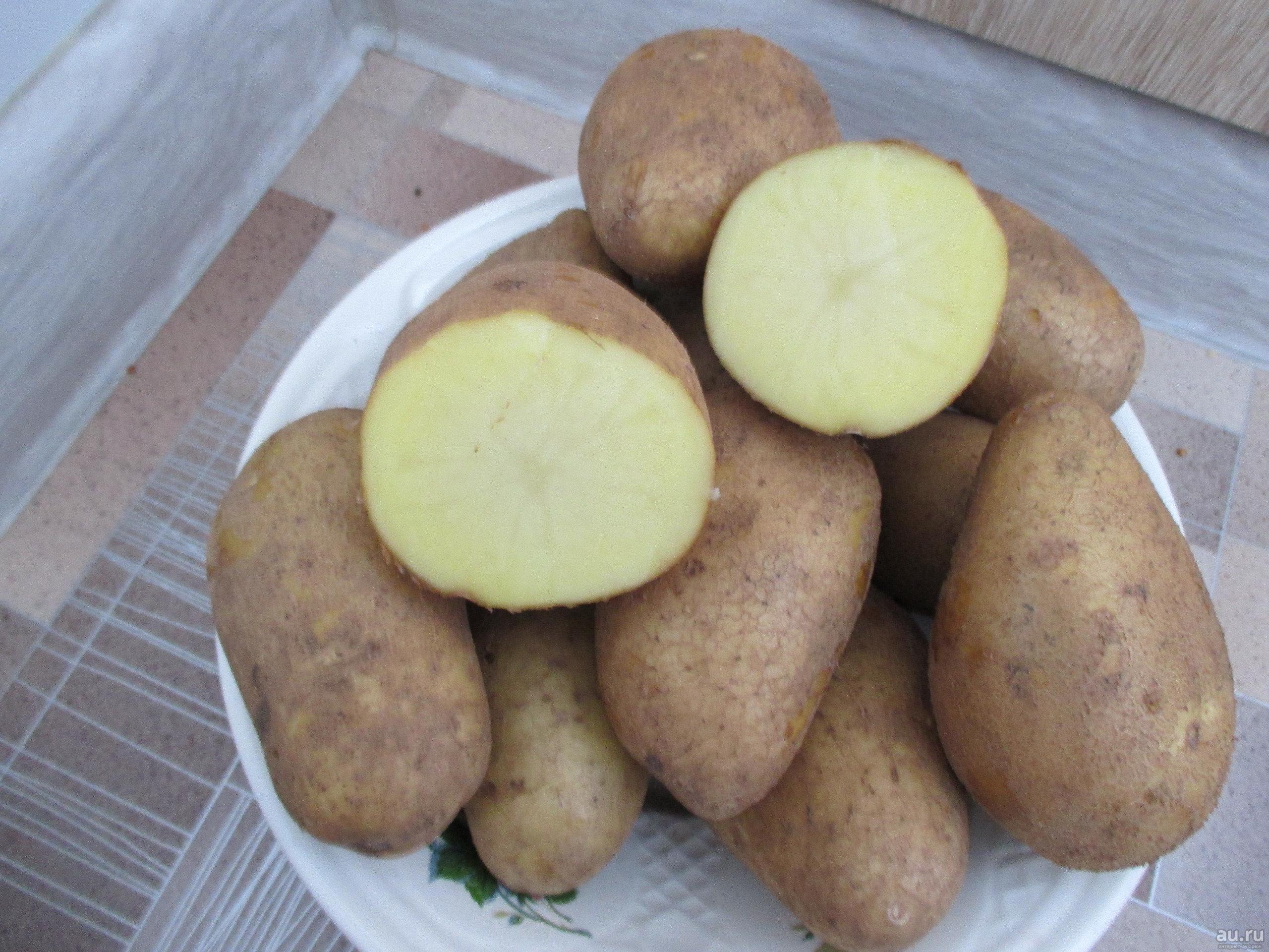 Обзор характеристик и описание сорта картофеля голубизна, выращивание и уход