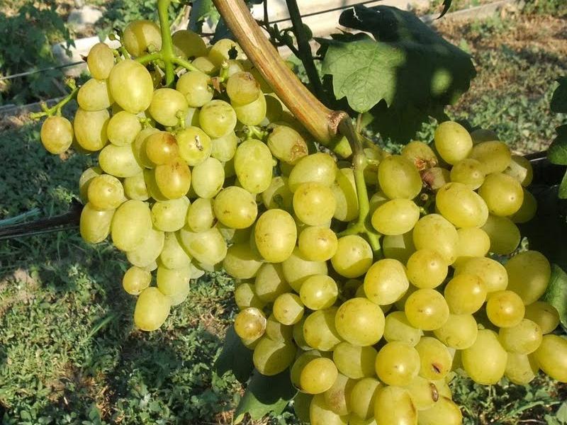 Устойчивый к морозам виноград «изабелла»: описание сорта, посадка и уход, фото