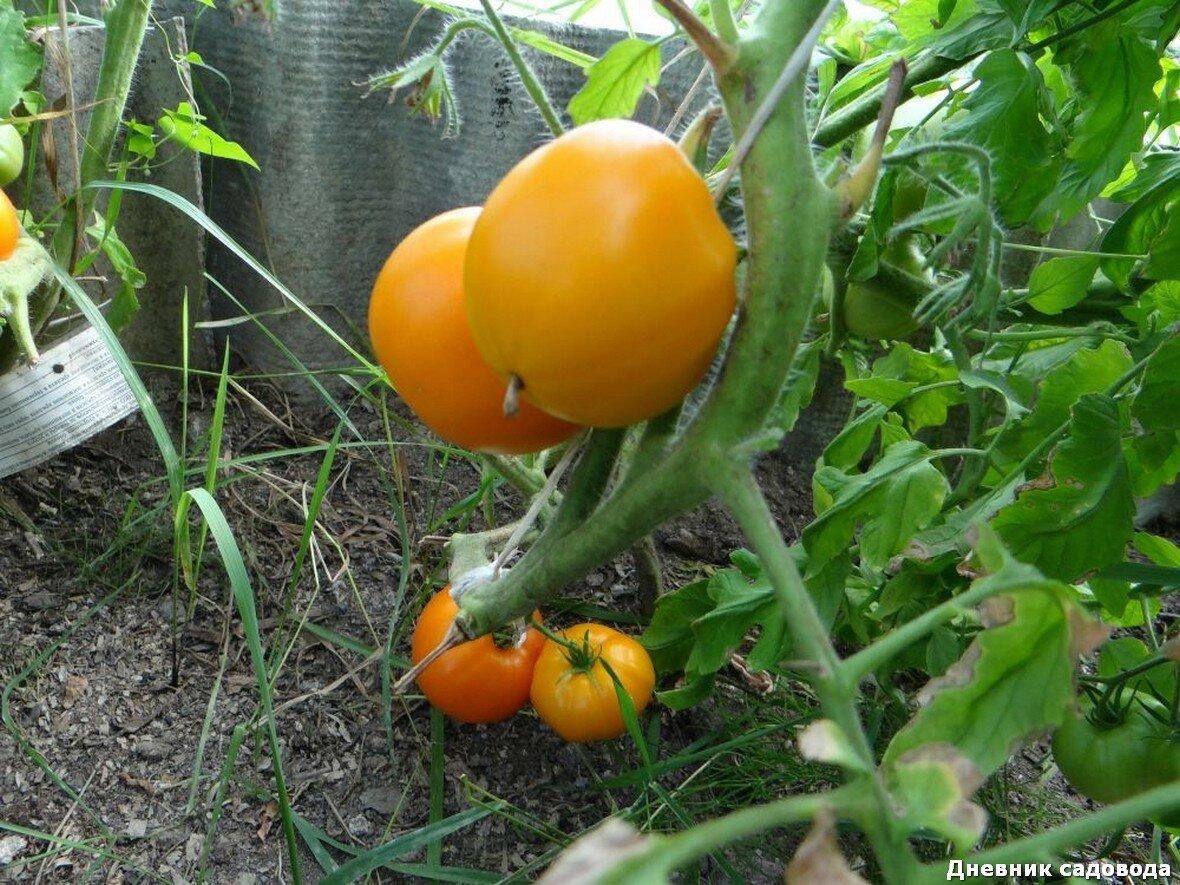 Самые урожайные черные сорта томатов