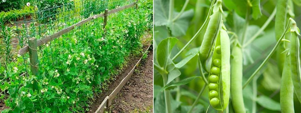 Посадка гороха: как правильно сажать в открытый грунт и в теплицу семенами весной, схема посева, уход за ним в огороде, видео