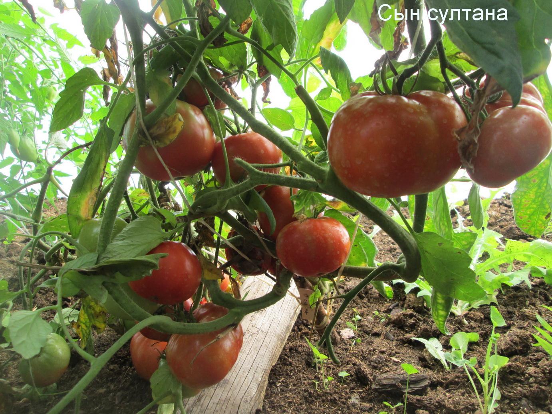 Описание томата Шахерезада и рекомендации по выращиванию сорта