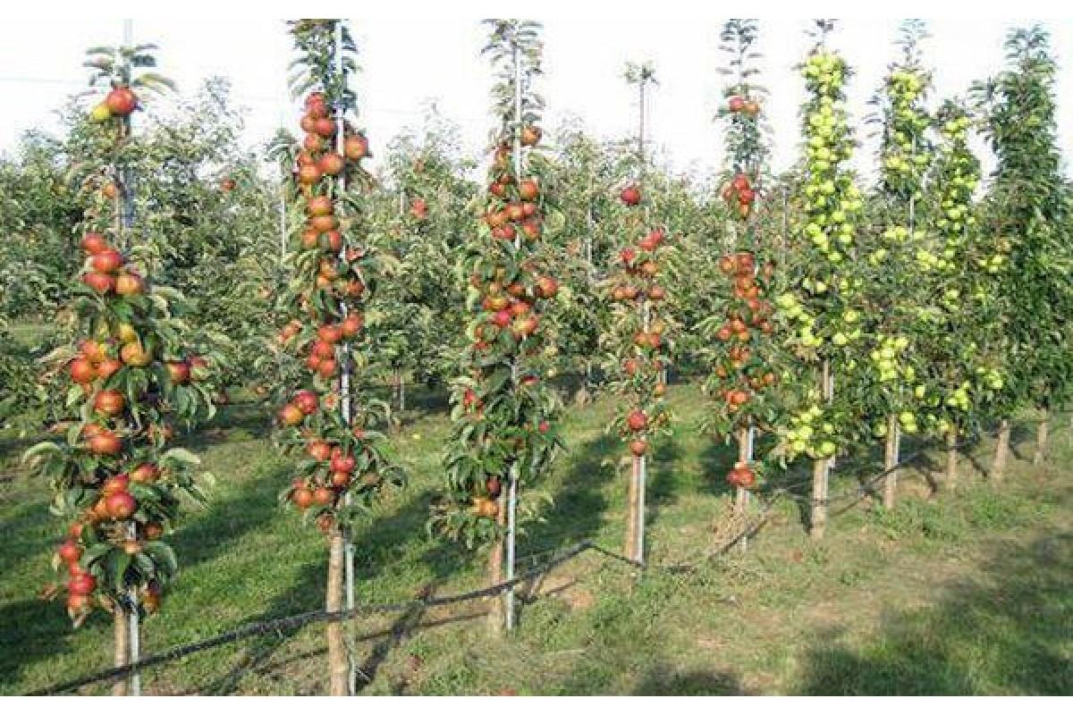 Колоновидная яблоня – правила посадки и ухода, возможные болезни и проблемы