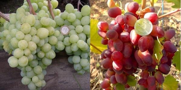 Виноград байконур: описание сорта, фото
