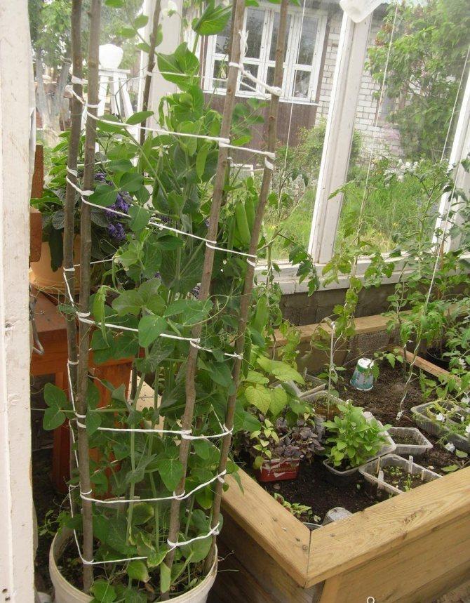 Выращивание гороха в домашних условиях