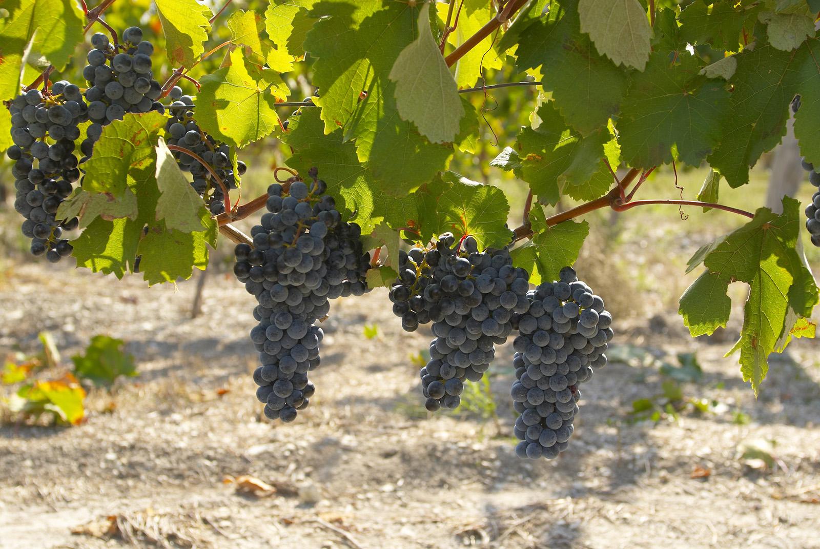 Виноград саперави северный, описание сорта, посадка и уход