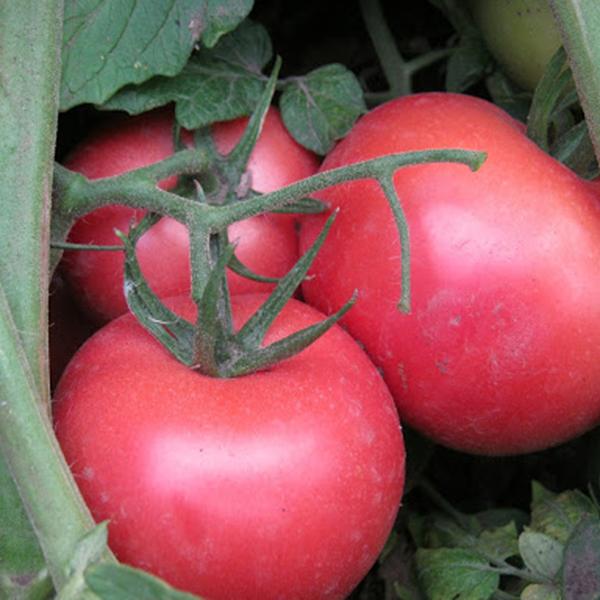 Томат пинк буш f1: отзывы, фото куста, секреты выращивания этого сорта помидоров от опытных огородников