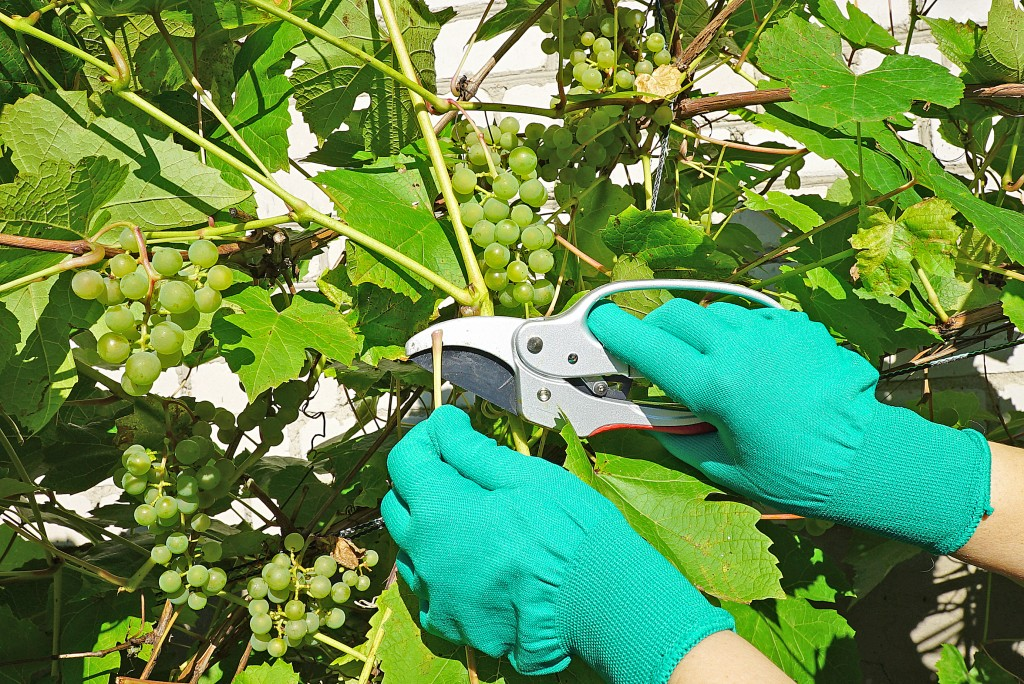 Почему виноград не плодоносит и не цветет: как помочь