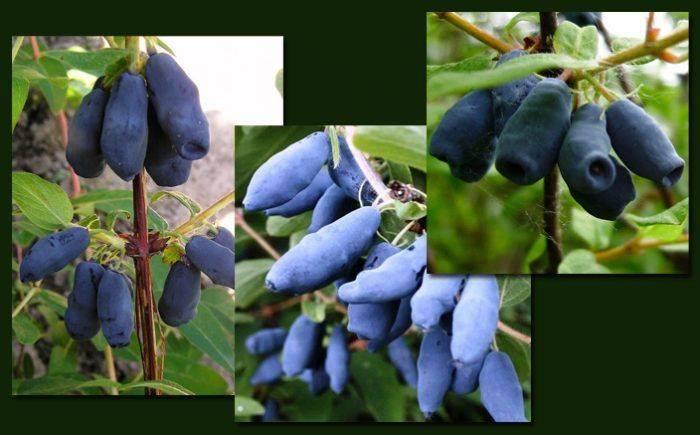 Жимолость морена: отзывы, фото, описание сорта съедобной ягоды, выращивание, посадка и уход, урожайность, опылители, морозоустойчивость