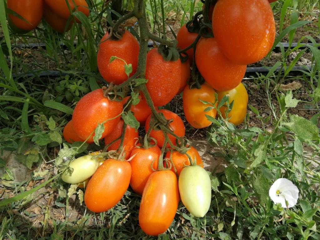Томат русский размер f1: характеристика и описание сорта, урожайность, выращивание и уход, фото