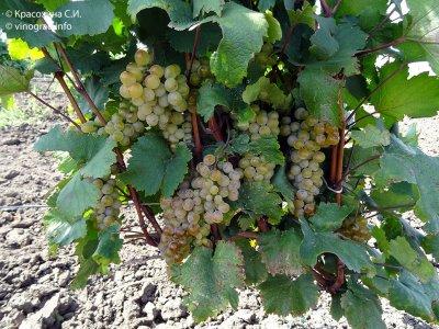 Ркацители — наиболее распространенный сорт винограда в грузии