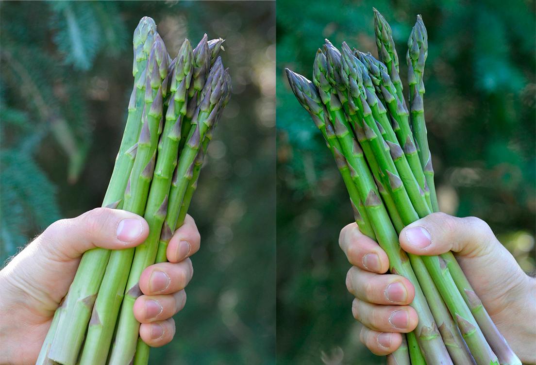 Спаржа: выращивание из семян на огороде, сорта