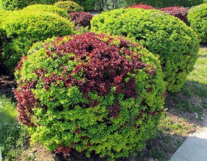 Неприхотливые вечнозеленые растения в вашем саду: виды, названия и описания