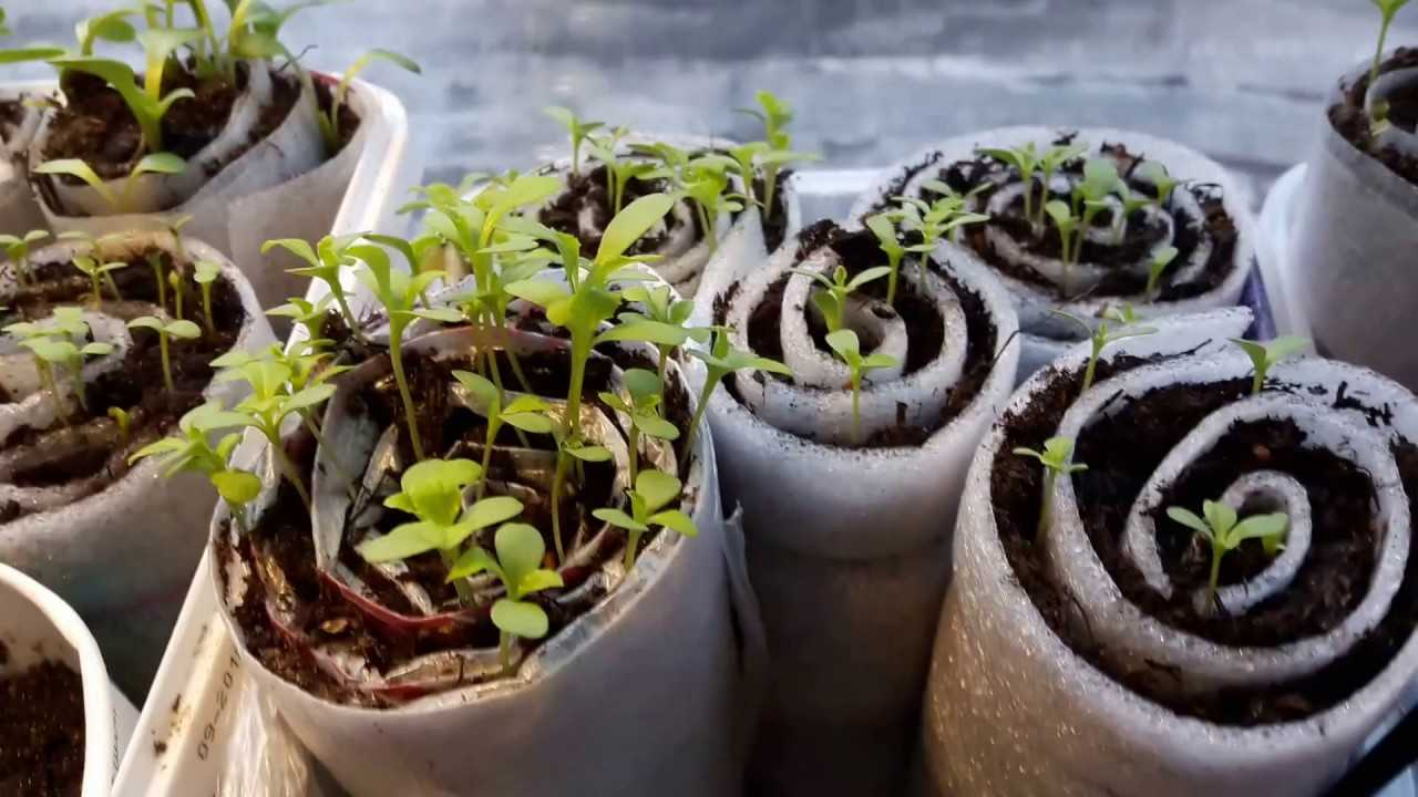 Выращивание рассады в улитках: фото, видео, как вырастить рассаду без земли