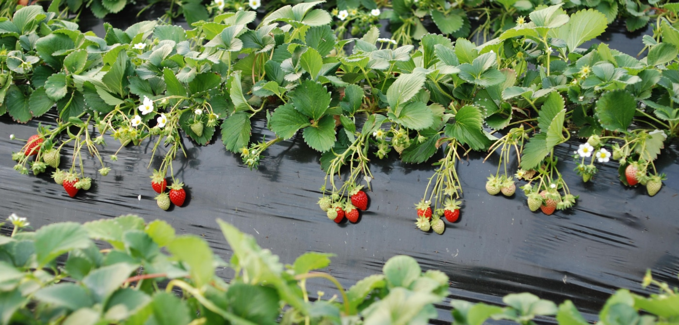 Выращивание клубники в сибири: критерии выбора сорта, описание лучших сортов, сроки и правила посадки, особенности ухода
