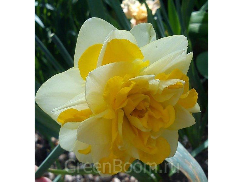 Нарцисс свит помпонет фото