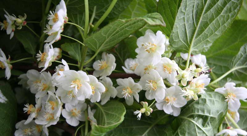 Как выращивать актинидию коломикта в подмосковье и других регионах: посадка и уход